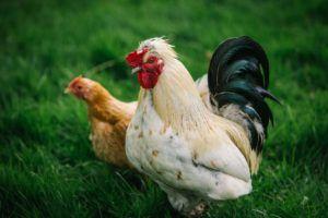 Hens at Cedar Farm
